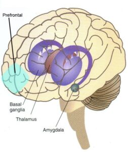 prefrontal amygdala and basal ganglia