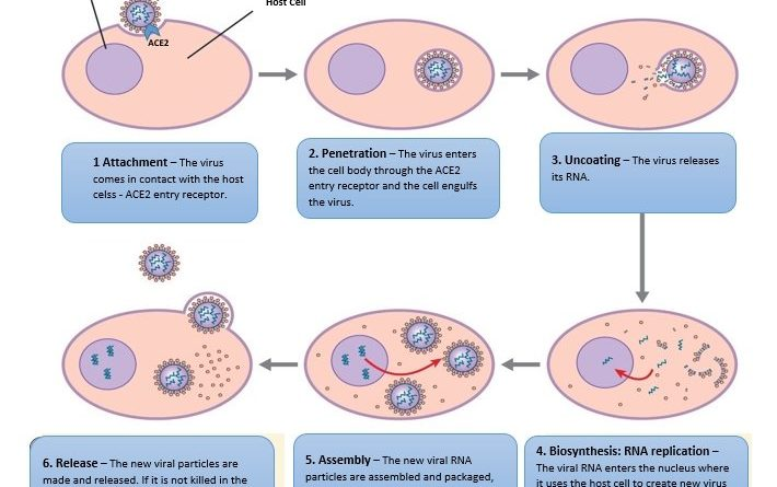 The Life Cycle of Coronavirus Covid-19 SARS-CoV-2