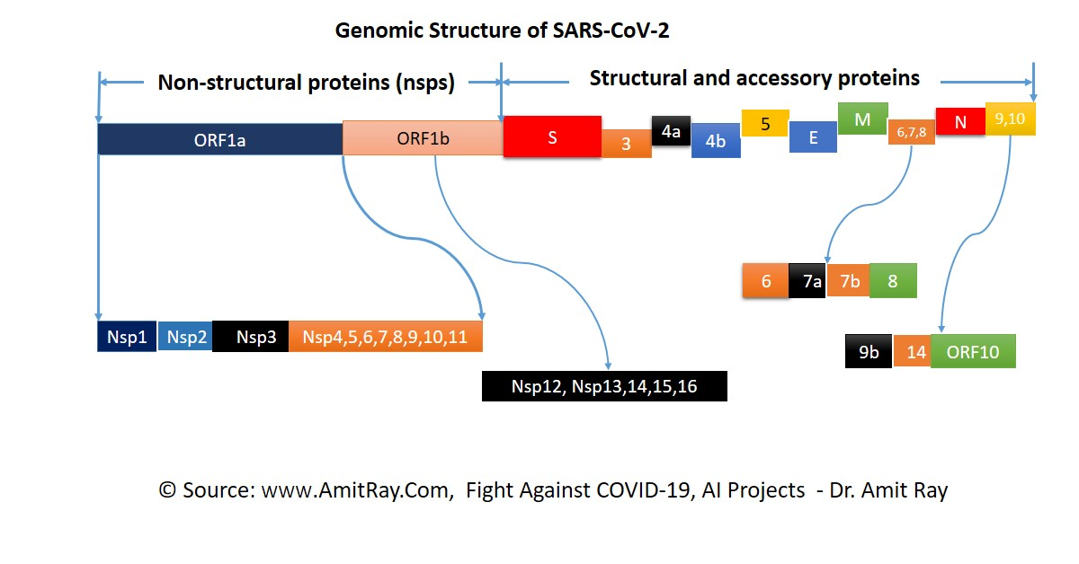 Genomic Structure of SARS-CoV-2