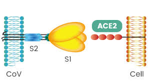 S Protein and ACE2 Binding
