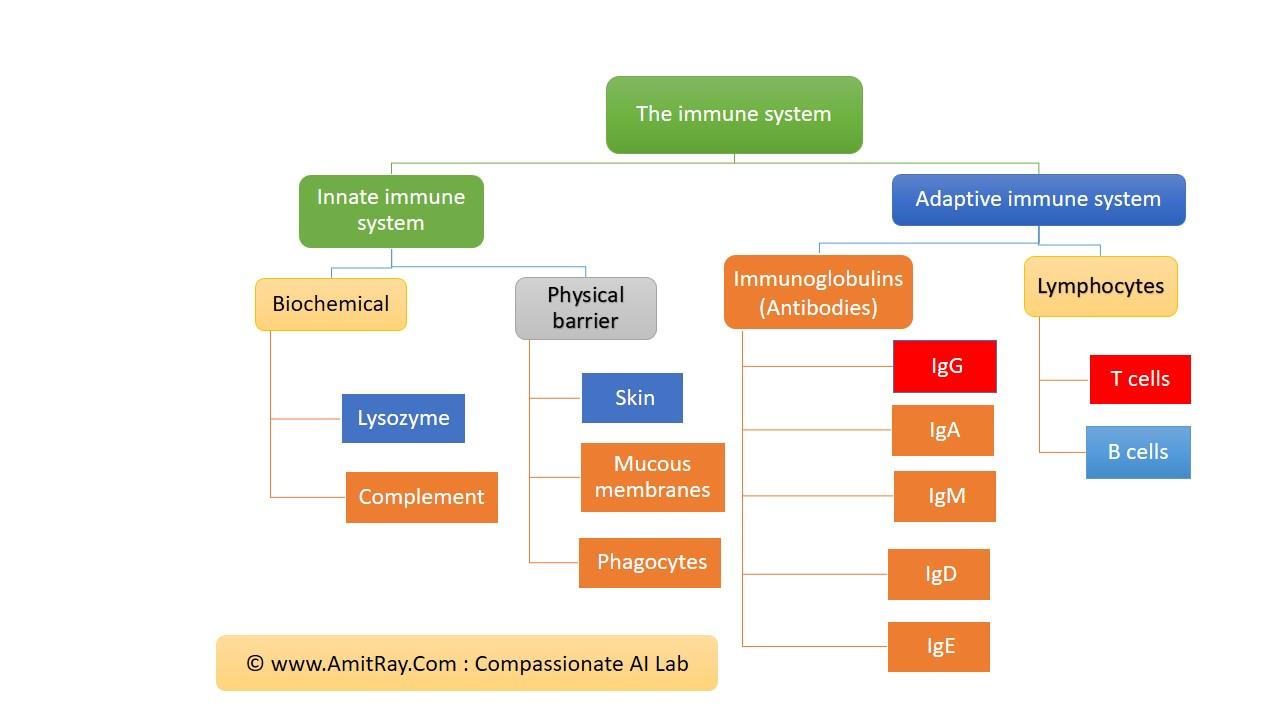 Human Immunity System and immunoglobulins