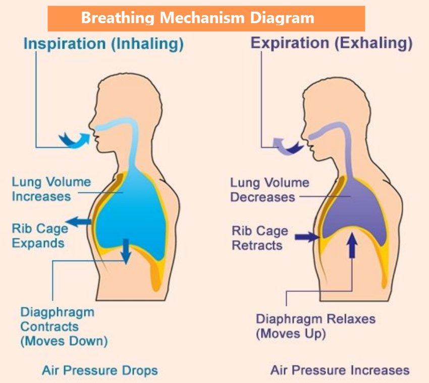 Breathing mechanism diagram